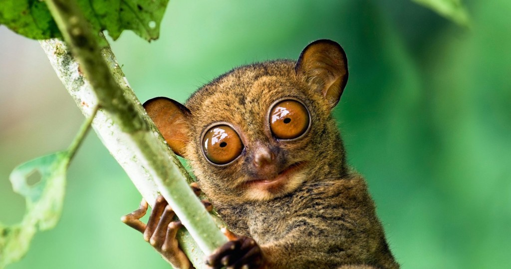 Western tarsier in a Malaysian rainforest in Danum Valley, Sabah, Borneo